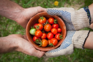 Hands Giving Tomatoes