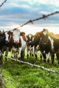 Cattle in a field